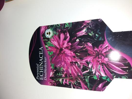 Echinacea.. Doubledecker