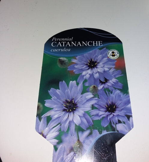 Catananche.. caerulea... Cupid's dart