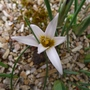Romulea bulbocodium var leichtlinii - 2019 (Romulea bulbocodium)