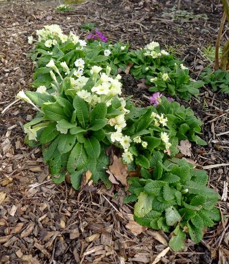 Primula vulgaris - 2019 (Primula vulgaris)