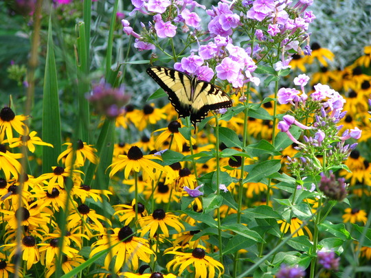 Swallowtail butterfly enjoying my phlox.