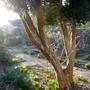 Luma appiculata - 2019 (Luma apiculata)