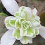 Double Snowdrop (Galanthus nivalis pleniflorus 'Flore Plena')