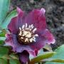 Helleborus_orientalis.