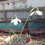 Galanthus 'Brenda Troyle' (Galanthus)