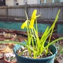 Narcissus cyclamineus (Narcissus cyclamineus (Cyclamen-flowered daffodil))