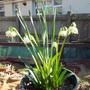 Spring Snowflake (Leucojum vernum (Spring snowflake))