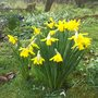 Narcissus 'February Gold' (Narcissus)