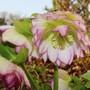 Helleborus 'Double Ellen Picotee' (Helleborus x hybridus)