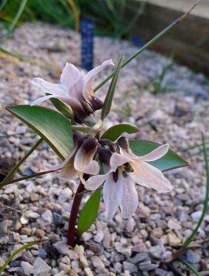 Fritillaria stenanthera - 2019 (Fritillaria stenanthera)