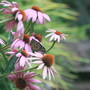 Monarch on purple coneflowers (Echinacea atrorubens (Topeka Purple Coneflower))