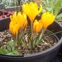 Crocus vernus 'Grand Jaune'
