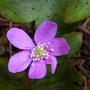 pink Hepatica nobilis