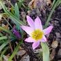 Tulipa saxatilis - 2019 (Tulipa saxatilis)