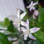 Money tree in flower (Crassula ovata (Jade tree))