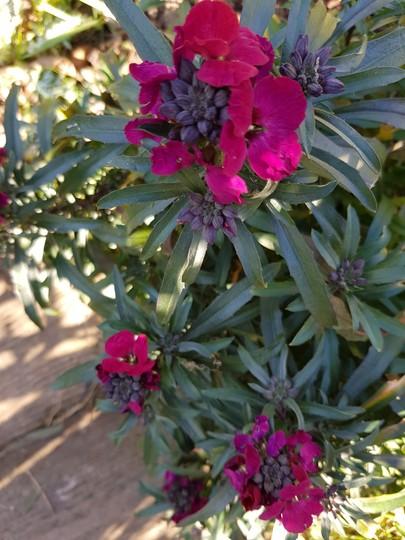 Erysimum Red Jep.... (Erysimum bicolor ()