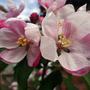 Champion_blossom