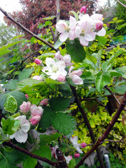 Elstar blossom close up (Malus domestica (Apple))
