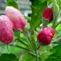 Elstar_blossom_buds