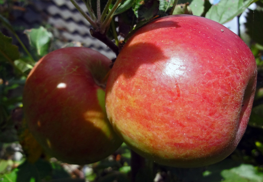 elstar fruit close up (Malus domestica (Apple))