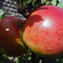 Elstar_fruit_close_up