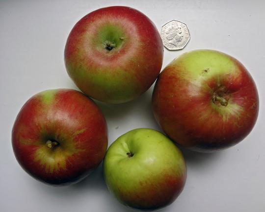 elstar fruit sept 18th 2018 (Malus domestica (Apple))