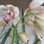 Cymbidium Orchid (white/pink) (Cymbidium)
