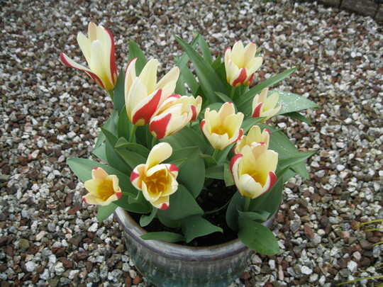 Tulip  Greigii...Cape Cod...2019.