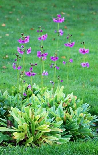 Primula poissonii in summer time.
