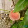 First_peach
