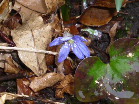 Hepatica nobilis (Hepatica nobilis (Liverleaf))