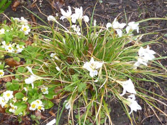 Iris ungucularis 'Pelopenesia Snow' (Iris unguicularis 'Pelopenesia Snow')