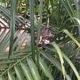 Hummingbird sitting on babies on the Pygmy Date Palms