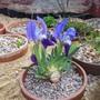 Iris lutescens (Iris lutescens)
