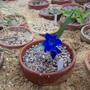 Tecophileae cyanocrocus (Tecophilaea cyanocrocus)