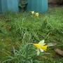Narcissus_lobularis