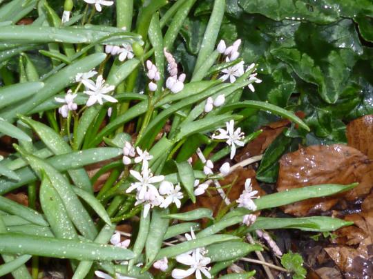 Scilla bifolia 'Rosea' (Scilla bifolia 'Rosea')