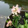Hyacinth_gypsy_queen