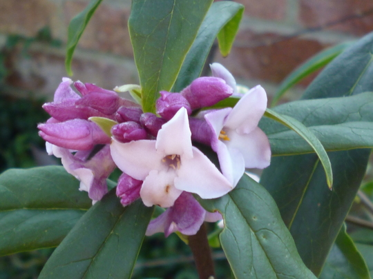 Daphne 'Spring Hearld' (Daphne bholua 'Spring hearald')