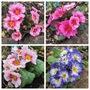 2 x 3 Pink Primula (For my File) (Primula)
