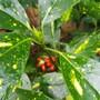 Aucuba japonica Picturata.