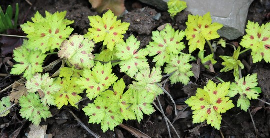 New foliage on Geranium phaeum 'Conny Broe'