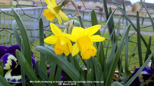 Mini-Daffs flowering in trough on balcony railings (Very close up) 6th March 2019 (Daffodil)
