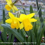Mini_daffs_flowering_in_trough_on_balcony_railings_very_close_up_6th_march_2019