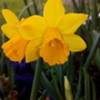 Mini_daffs_flowering_in_trough_on_balcony_very_close_up_6th_march_2019