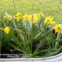 Mini-Daffs flowering in trough on balcony floor 6th March 2019 (Daffodil)