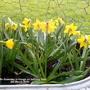 Mini_daffs_flowering_in_trough_on_balcony_floor_6th_march_2019