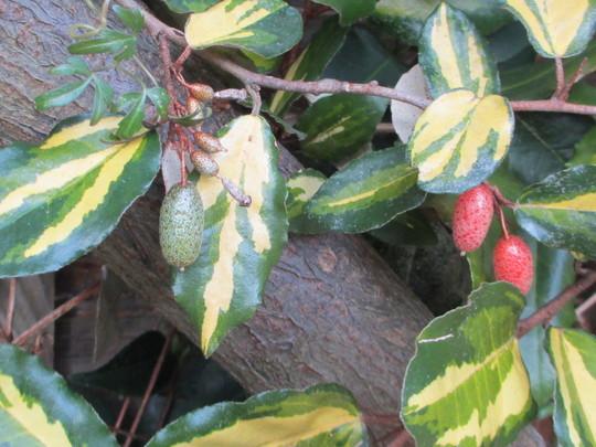 Fruit on Elaeagnus (Elaeagnus pungens (Elaeagnus))