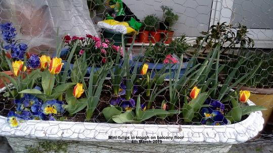 Mini-Tulips in trough on balcony floor 4th March 2019 (Tulipa polychroma)