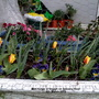 Mini-Tulips in trough on balcony floor 4th March 2019 (Tulipa polychroma)
